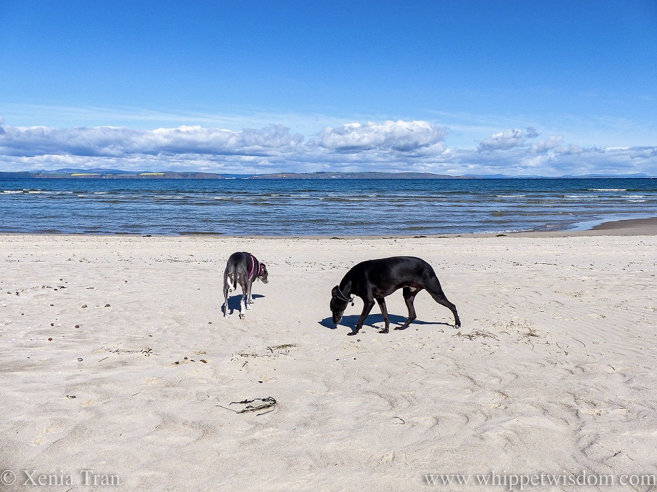 a blue and white whippet and a black whippet on the beach