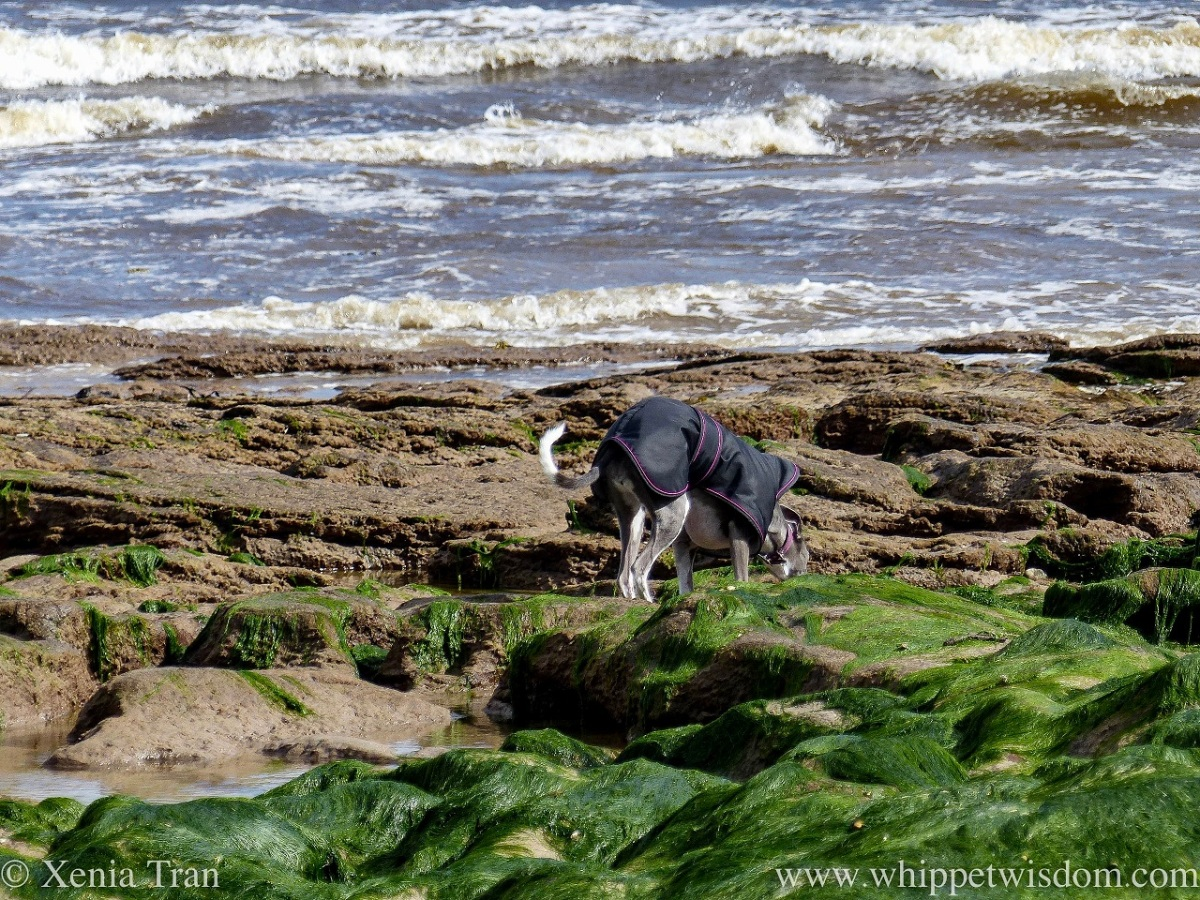 a blue and white whippet in a black jacket bending down to sniff something between seaweed-covered stones