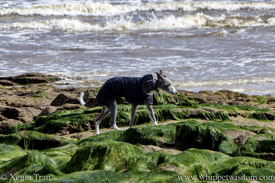 a blue and white whippet in a black jacket walking on seaweed-covered stones