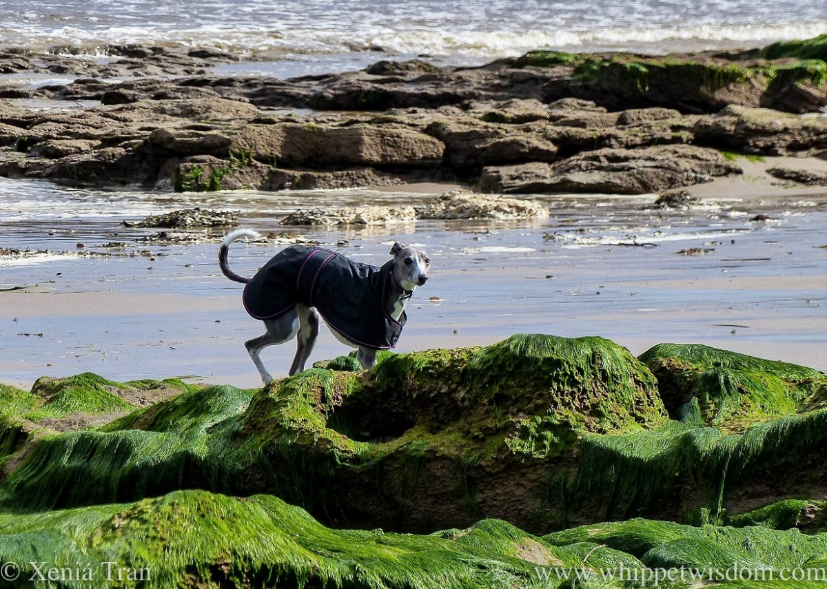 a blue and white whippet walking between outcrops on wet tidal sands