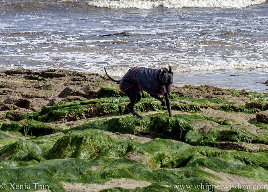 a black whippet in a black jacket walking across seaweed-covered outcrops