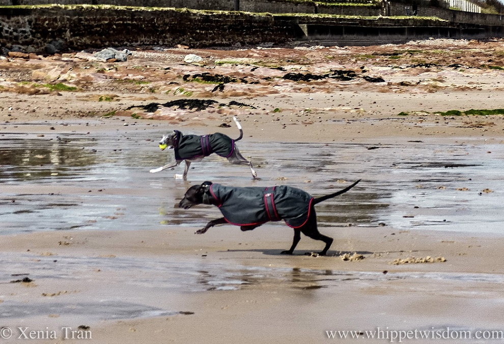 two whippets in black jackets running on wet tidal sands