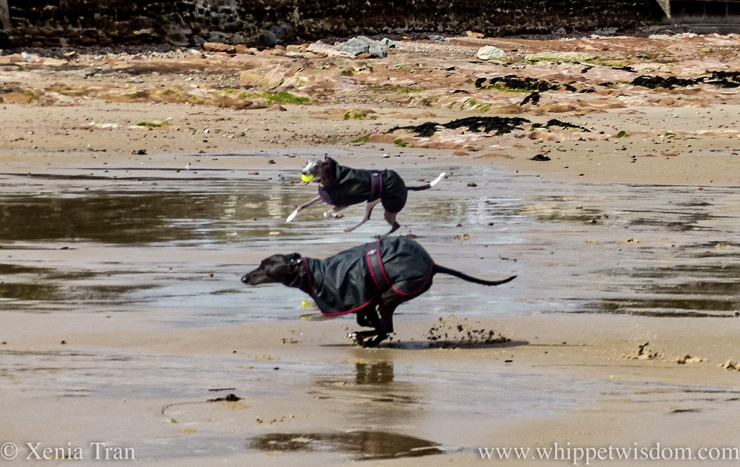 side on shot of two whippets in black jackets running on wet tidal sands