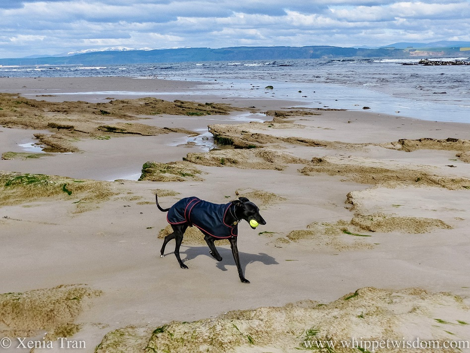 a black whippet in a black jacket carrying a yellow ball on the beach
