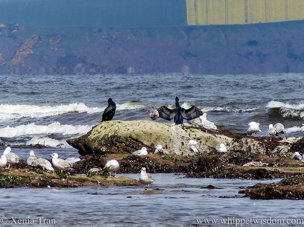 two cormorants on a rock in the sea with a flock of seagulls