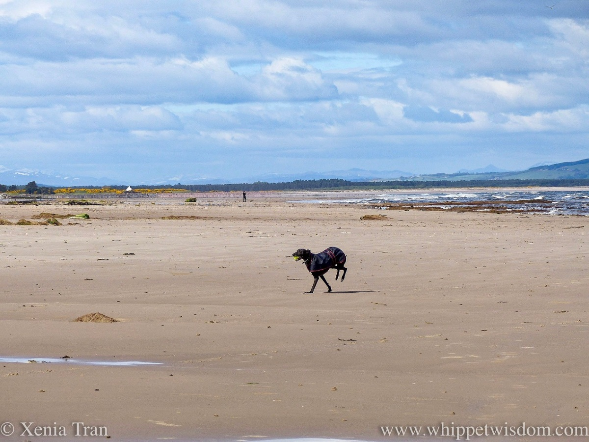 a black whippet in a black jacket leaping across the beach with a yellow ball