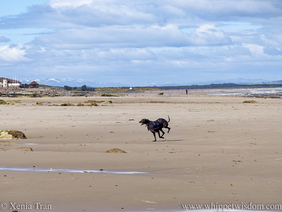 a black whippet in a black jacket sprinting across the beach with a yellow ball