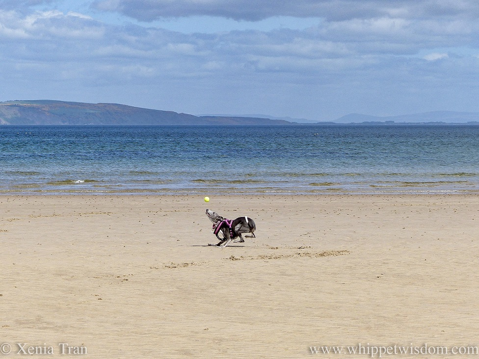 a blue and white whippet playing with a ball on the beach
