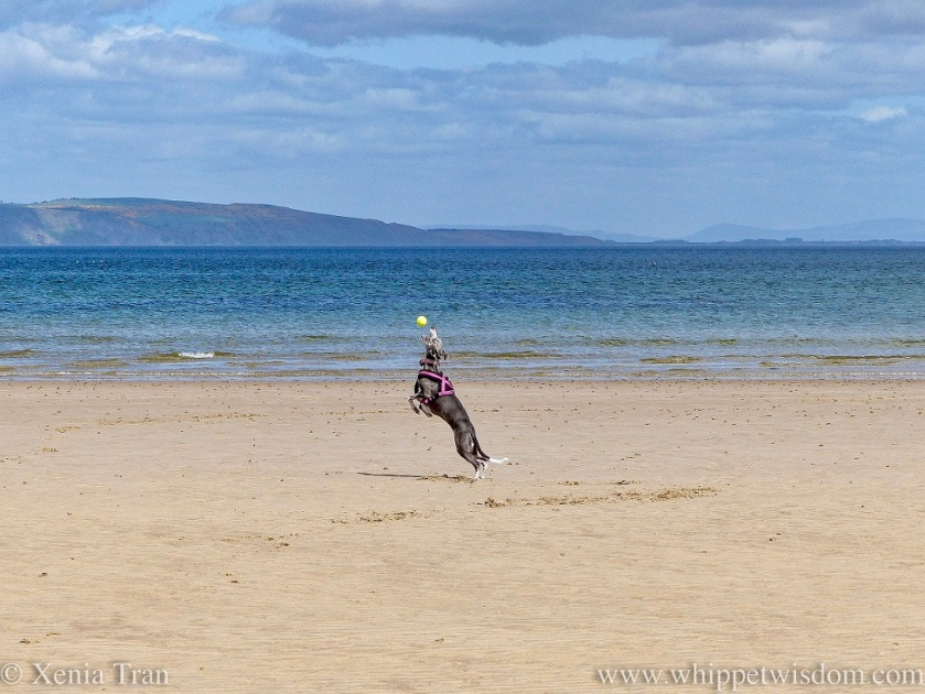 a blue and white whippet leaping up to catch a ball mid-air on the beach