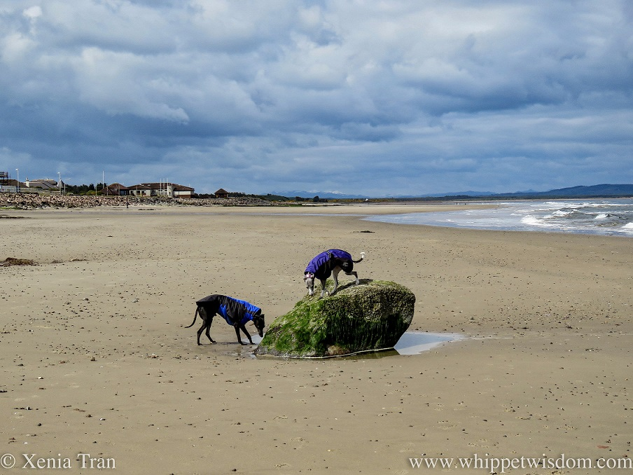 one whippet on top of a rock and another whippet below on the beach