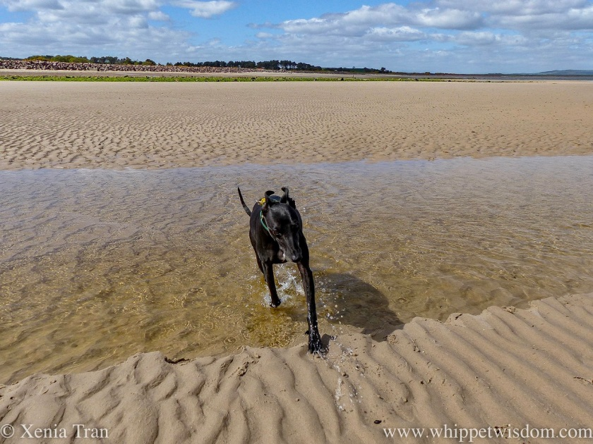 a black whippet leaping through a tidal lagoon on the beach