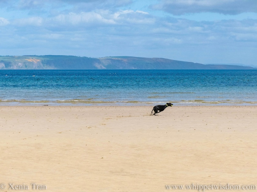 a black whippet sprinting along the water's edge on the beach