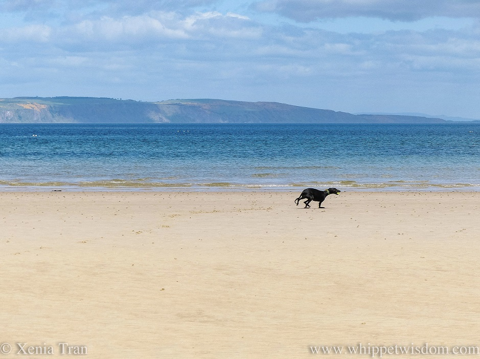 a black whippet running on the beach beside a turquoise sea