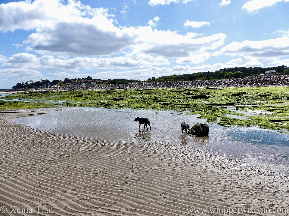 two whippets wading through a shallow tidal lagoon
