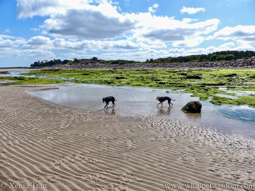 two whippets wading through a tidal lagoon