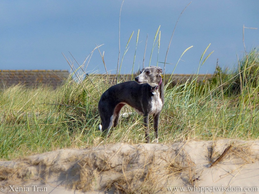 a blue and white whippet standing on the dunes