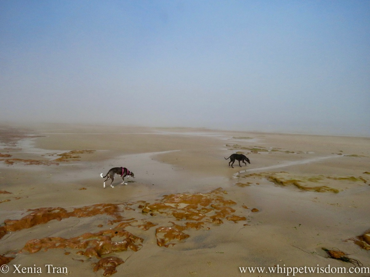 two whippets walking on tidal sands in the mist