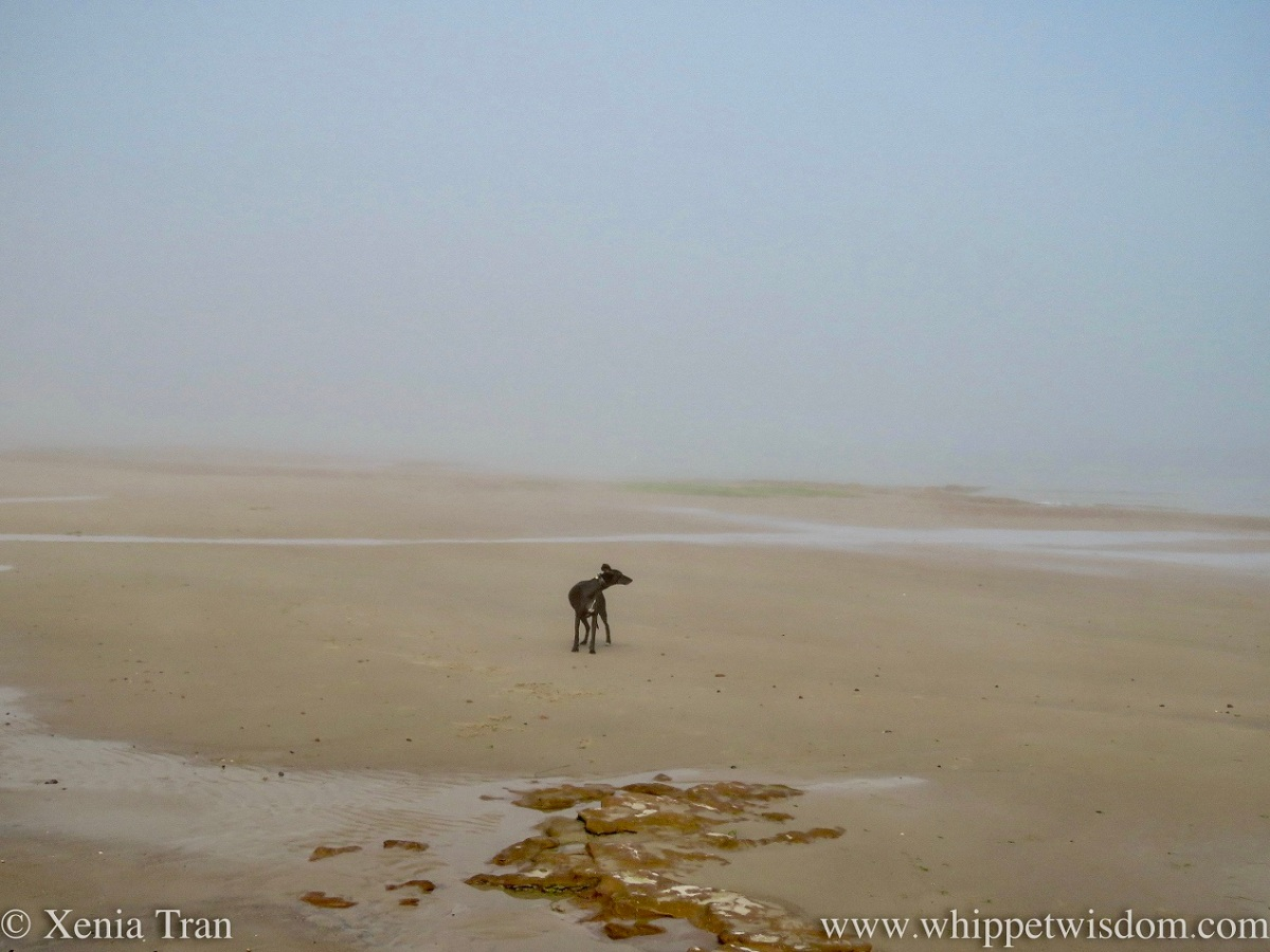 a black whippet standing on a misty beach