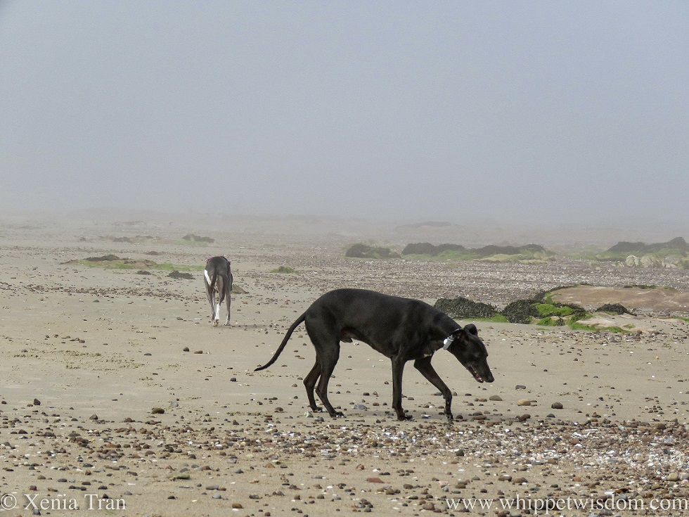 a black whippet and a blue and white whippet on a misty beach