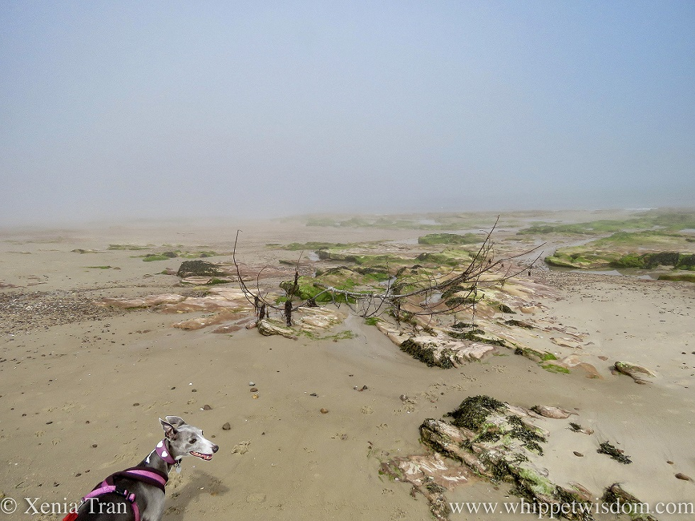 a blue and white whippet on a misty beach with driftwood