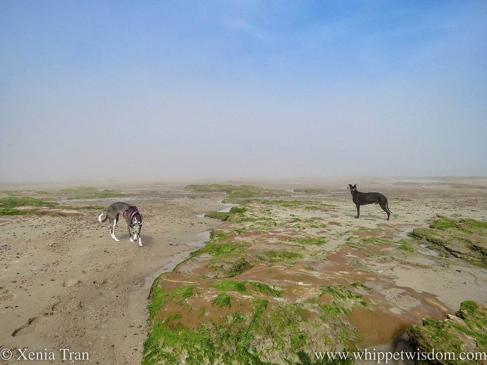 two whippets on tidal sands and outcrops in the mist