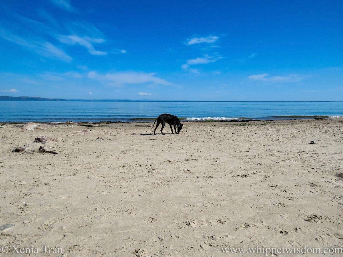 a black whippet on a beach in bright sunlight, a blue sea behind him