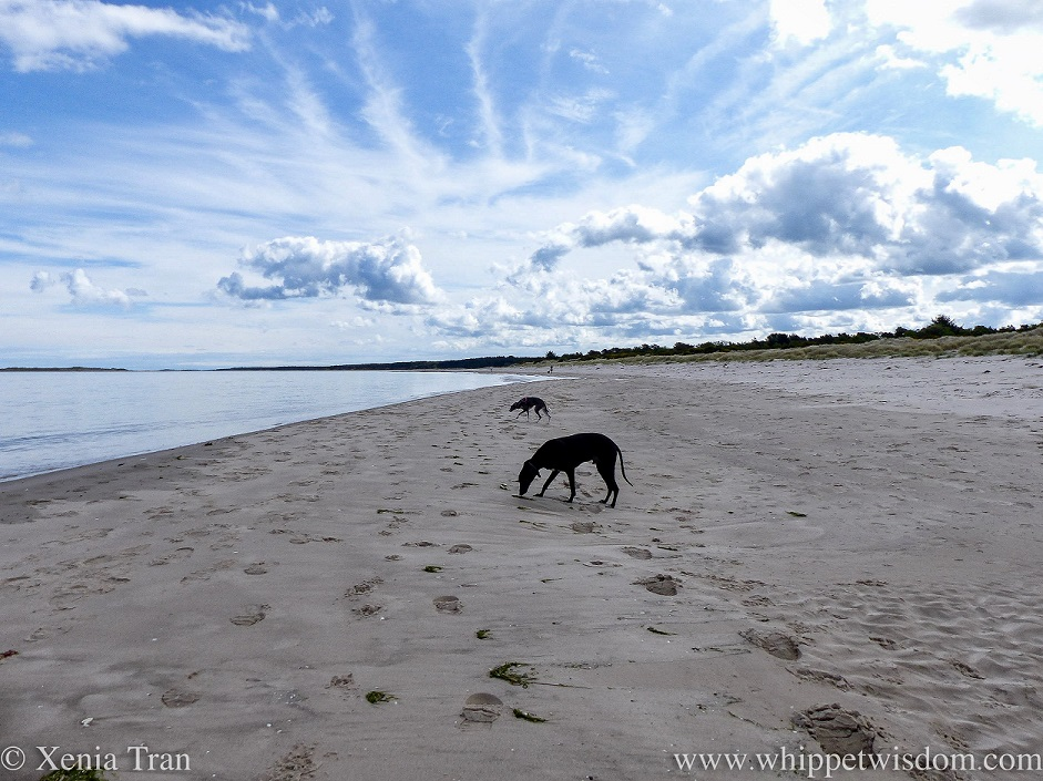 two whippets on the beach with dramatic clouds fanning through the blue sky