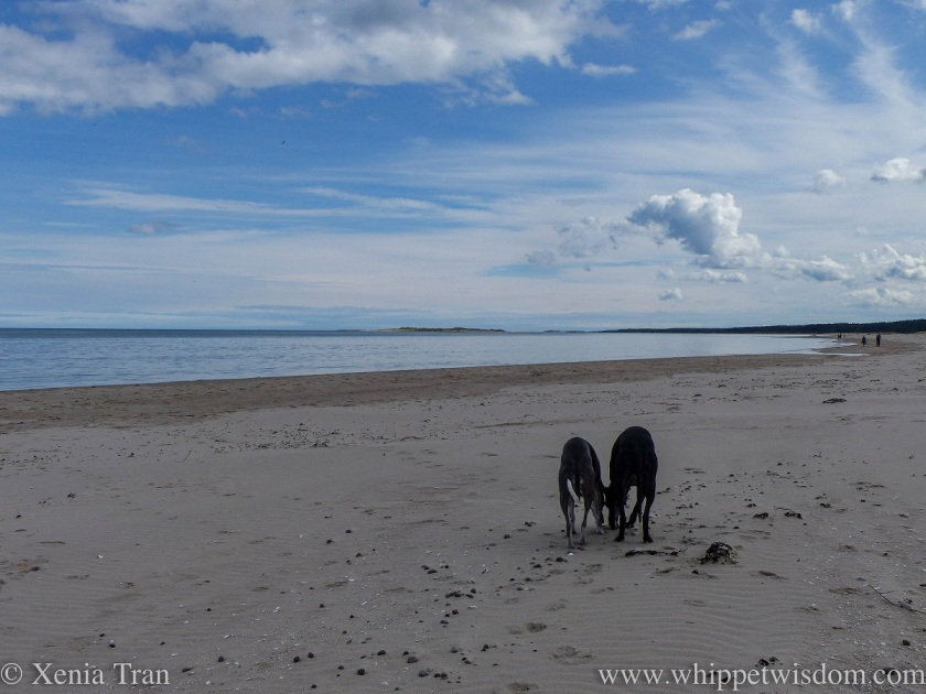 two whippets on the beach bending down side by side to sniff some seaweed