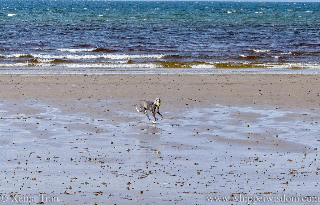 a blue and white whippet running on the beach with a ball
