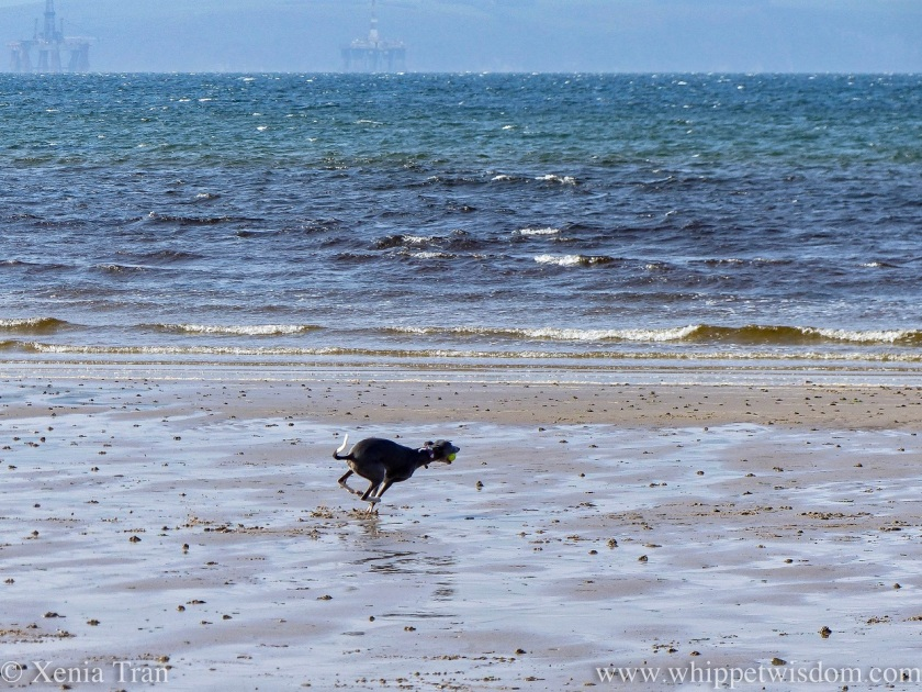 a blue and white whippet in full sprint across the tidal sands