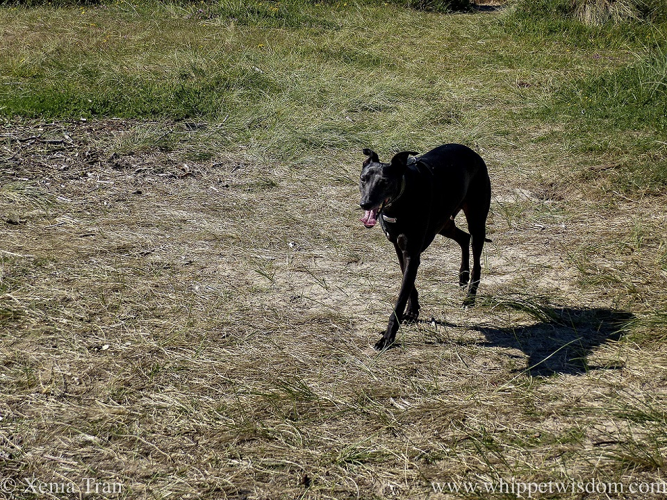 a black whippet striding through dunes in the morning sun