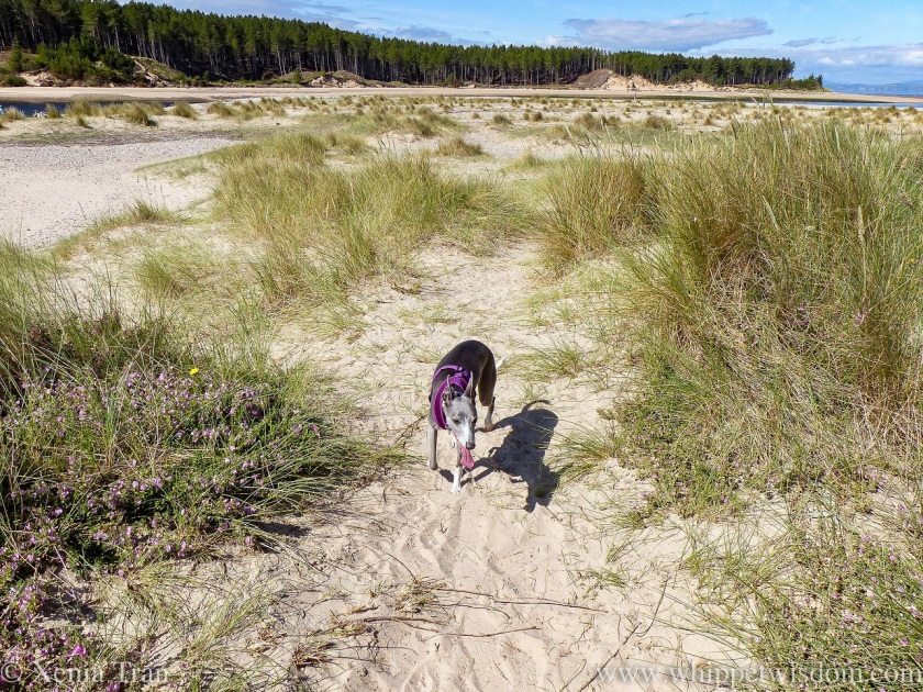 a blue and white whippet walking through the dunes in the morning sun