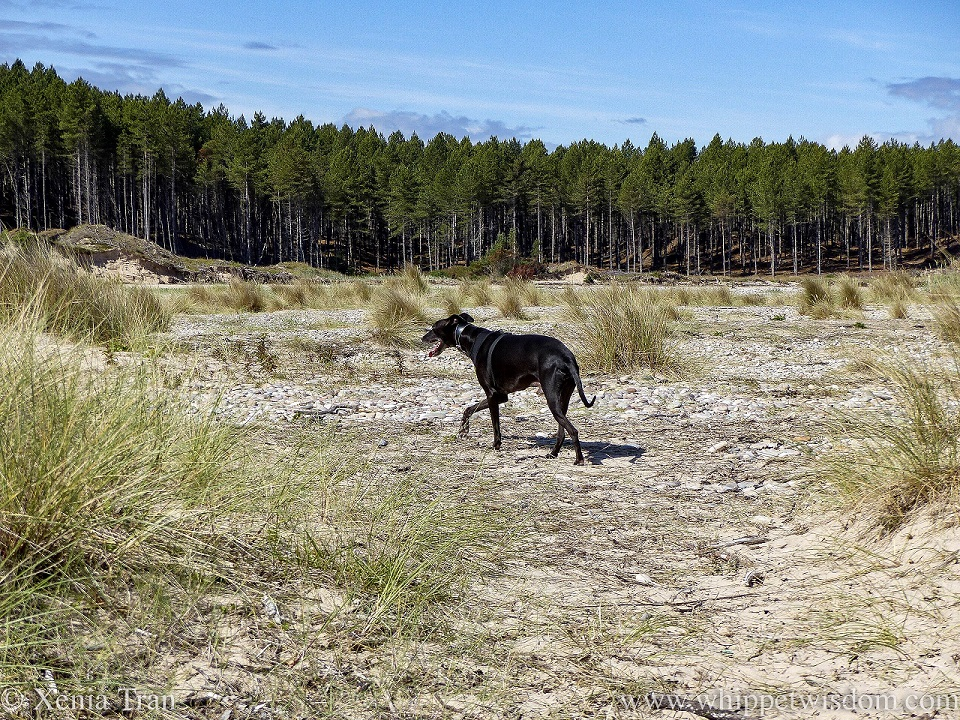 a black whippet walking through the dunes below a pine forest
