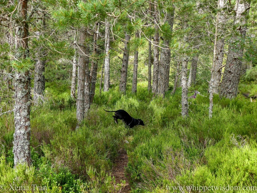 a black whippet leaping over heather on an overgrown forest trail