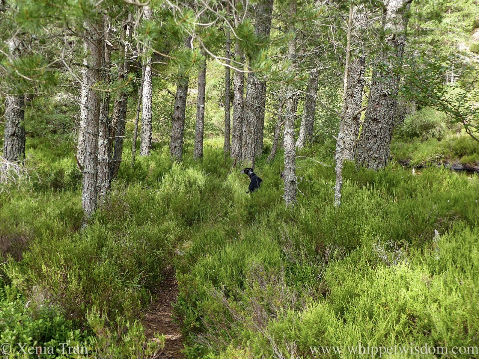 a black whippet galloping away on a narrow forest trail