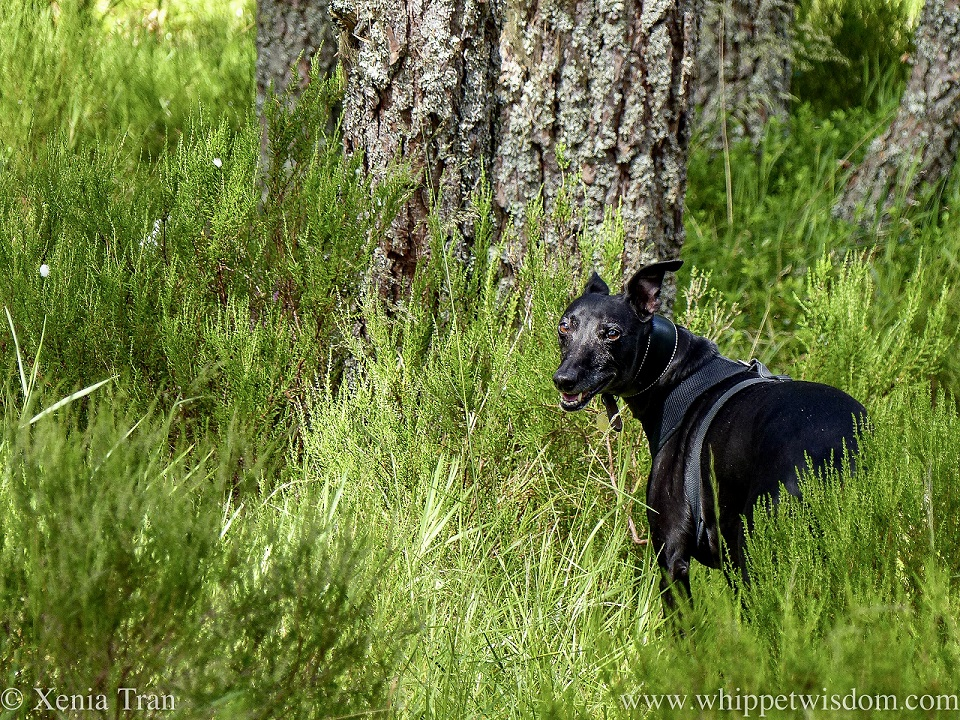 a smiling black whippet between tall grass and heather