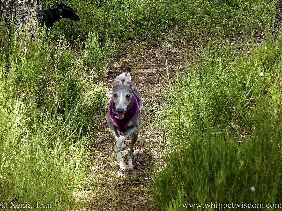 a smililng blue and white whippet running on an overgrown forest trail