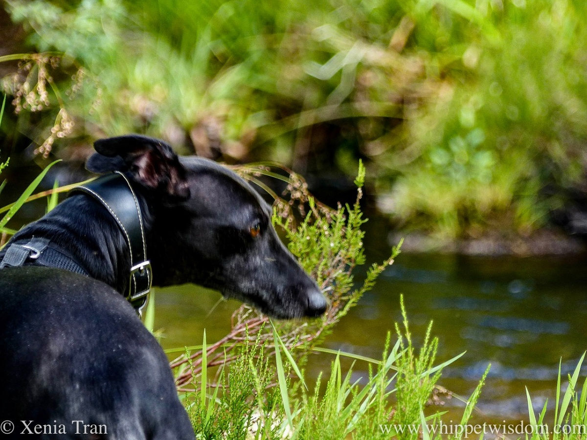 a black whippet beside a mountain stream looking to his right