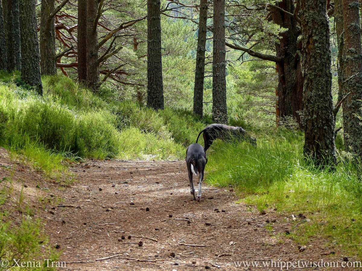two whippets walking downhill on a forest trail