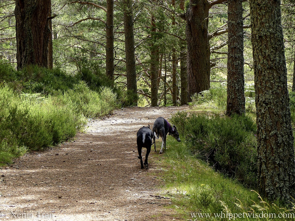two whippets approaching a bend on a descending forest trail