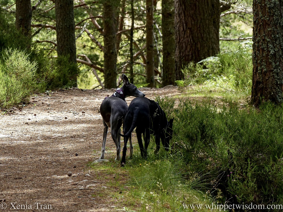 two whippets standing together on a forest trail