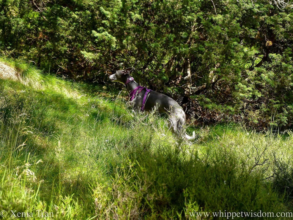 a blue and white whippet climbing a hill