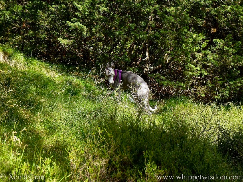 a blue and white whippet in summer grass
