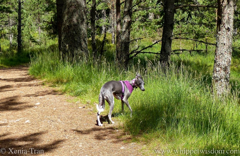 a blue and white whippet on a forest trail with tall grass