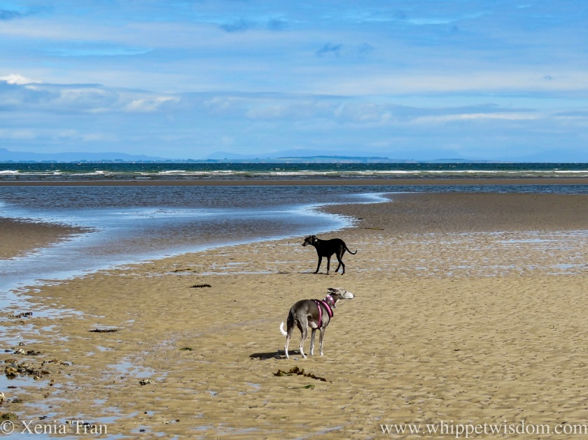 a blue and white whippet and a black whippet by a tidal lagoon