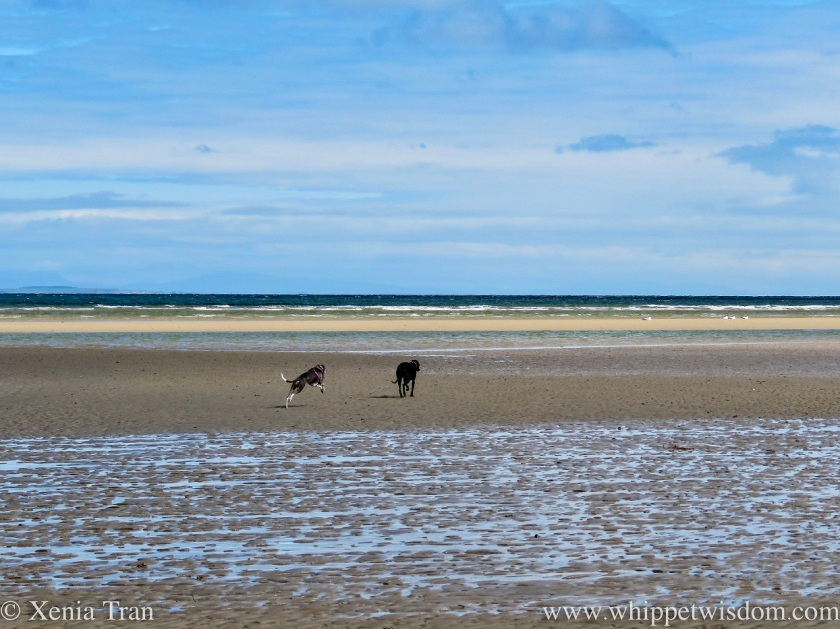 two whippets running across wet and rippled tidal sands