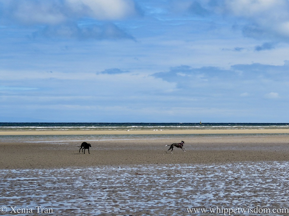 two whippets in full flight on a rippled sandbar