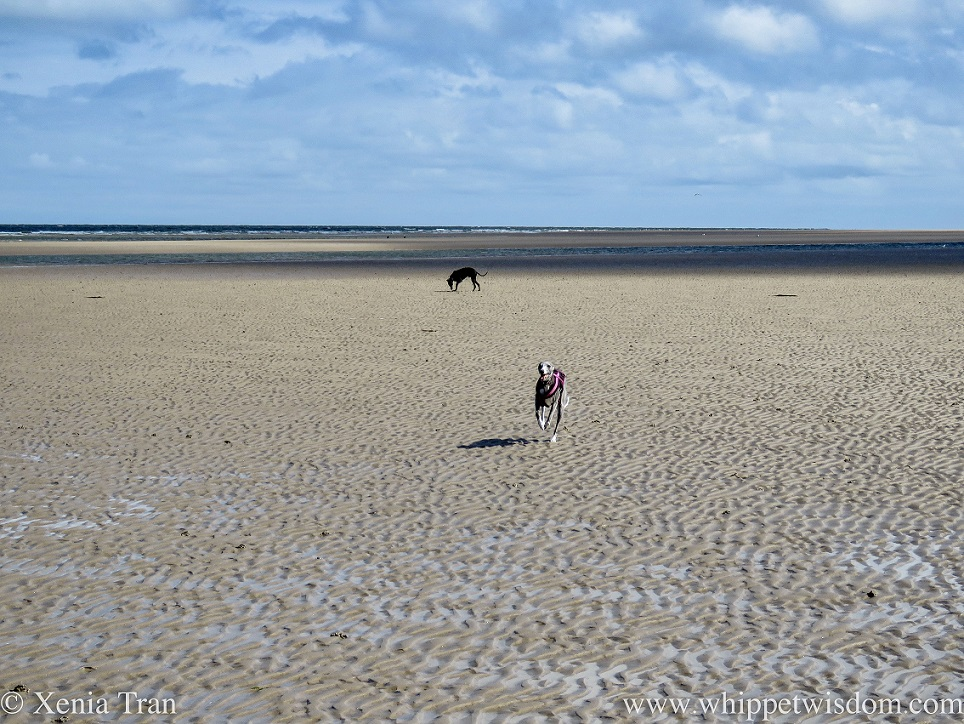 two whippets on tidal sands with lunate ripples and tidal pools