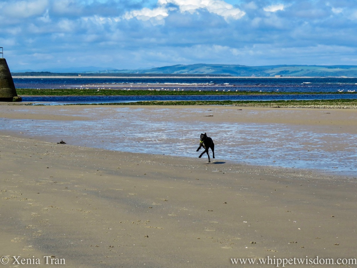 a black and white whippet leaping across the tidal sands with a ball