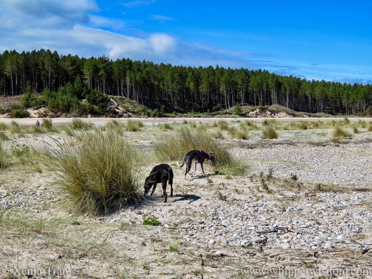 a black whippet and a blue and white whippet sniffing marram grass in the dunes